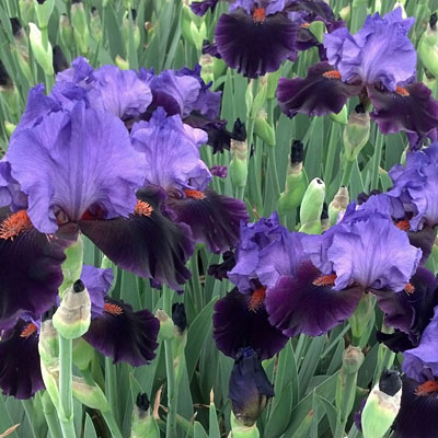 Iris germanica 'Violet Turner'
