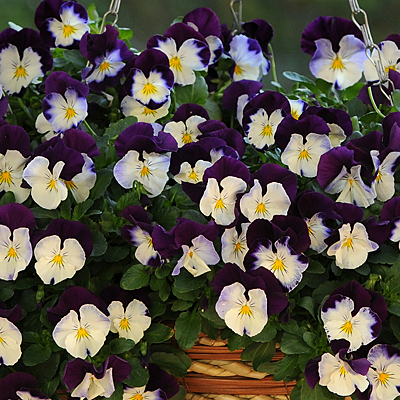 Pansy 'Cool Wave Violet Wing'