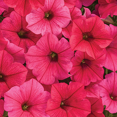 Petunia 'Supertunia Vista Paradise'