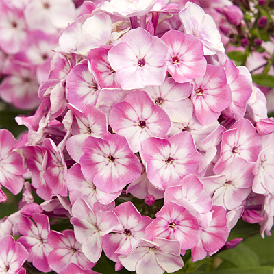 Phlox p. 'Volcano Pink with White Eye'