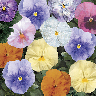 Pansy 'Delta Watercolors Mix'