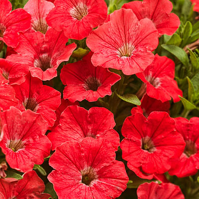 Petunia 'Supertunia Watermelon Charm'