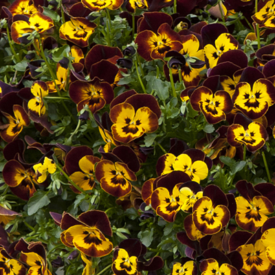 Pansy 'Cool Wave Fire'