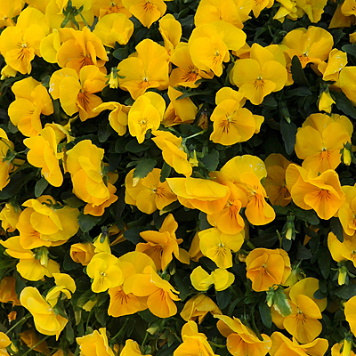 Pansy 'Cool Wave Golden Yellow'
