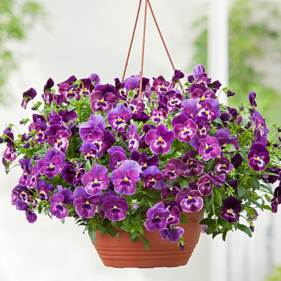 Pansy 'Cool Wave Raspberry'