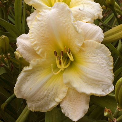 Hemerocallis 'Wedding Band'