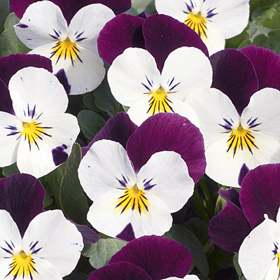 Viola 'Penny White Jump Up'