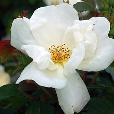 Rosa 'White Knock Out'