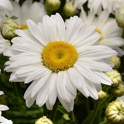 Leucanthemum x s. 'White Magic'
