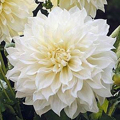 Dahlia 'White Perfection'