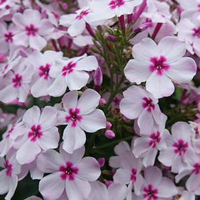 Phlox paniculata 'Volcano White with Rose Eye'