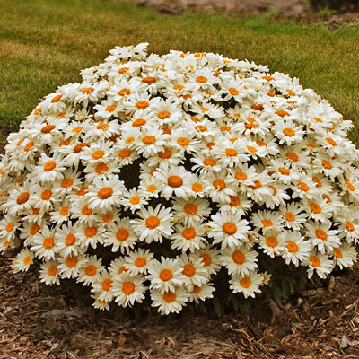 Leucanthemum x s. 'Whoops-a-Daisy'