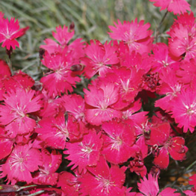 Dianthus x 'Wicked Witch'