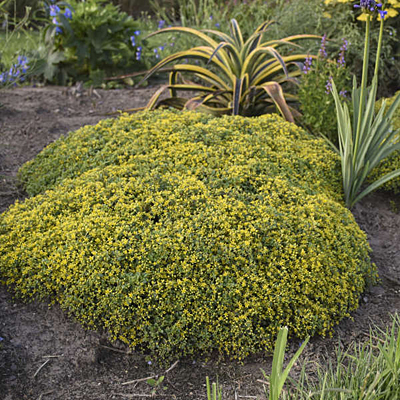 Sedum x 'Yellow Brick Road'