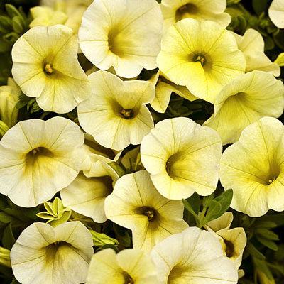 Calibrachoa 'Superbells Yellow Chiffon'