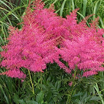 Astilbe x 'Younique Cerise'