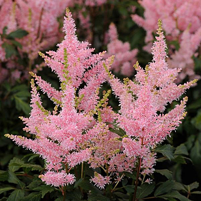Astilbe x 'Younique Salmon'