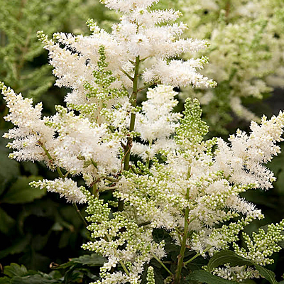 Astilbe x 'Younique White'
